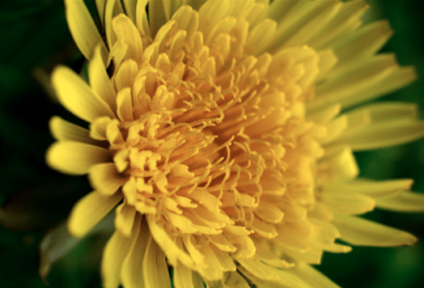 e-Essay: Beginner's Mind—On (Truly) Seeing a Dandelion